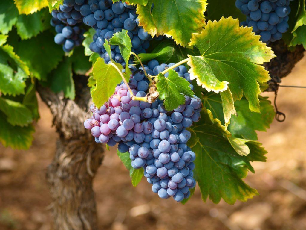 Полезные свойства виноградных листьев, о которых мало кто знает!