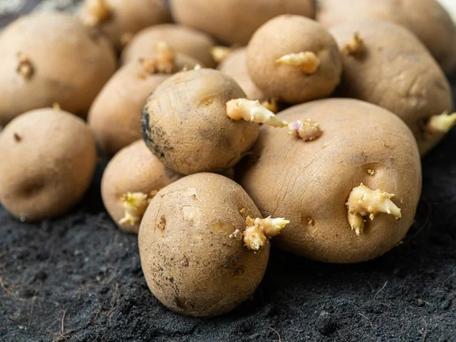 Опасно ли есть проросший картофель?