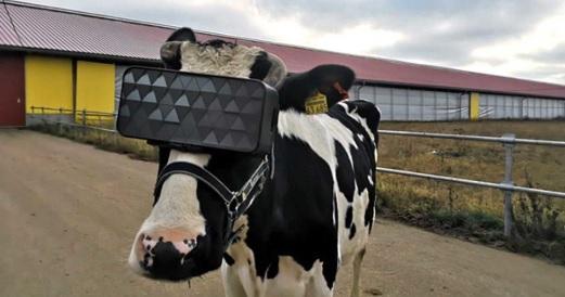 Российские фермеры используют виртуальную реальность, чтобы убедить своих коров давать больше молока!